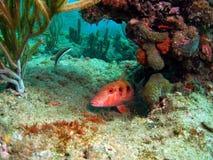 Koraalrif en Vissen Stock Foto