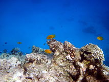 Koraalrif en vissen Royalty-vrije Stock Fotografie