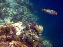 Koraalrif en vissen Royalty-vrije Stock Foto