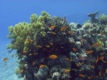 Koraalrif in het Rode Overzees. Stock Afbeelding