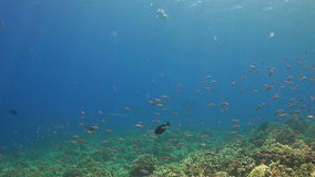 Koraalrif met anthias, surgeonfish en reus trevallies stock footage