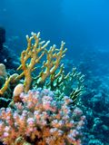 Koraalrif met brand en harde koralen op de bodem royalty-vrije stock afbeeldingen