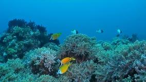 Koraalrif met Foxface rabbitfish stock footage