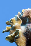 Koraalrif met groot zacht koraal bij de bodem van tropische die overzees op blauwe waterachtergrond wordt geïsoleerd Stock Foto's