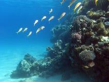 Koraalrif met ondiepte van goatfishes bij de bodem van tropische overzees Royalty-vrije Stock Fotografie