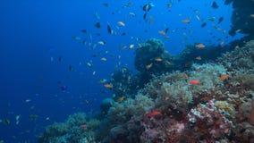Koraalrif met overvloeds kleine vissen Stock Afbeeldingen