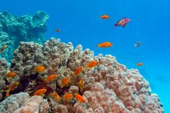 Koraalrif met poriteskoraal en anthiases bij de bodem van tropische overzees op blauwe waterachtergrond stock afbeeldingen