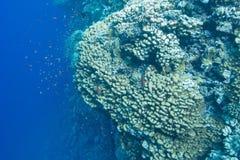 Koraalrif met poriteskoralen en exotische vissenanthias op de bodem van tropische overzees Stock Foto's