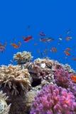 Koraalrif met zachte en harde koralen met exotische vissenanthias op de bodem van tropische overzees op blauwe waterachtergrond Stock Foto's