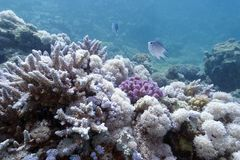 Koraalrif op de bodem van rode overzees Stock Afbeeldingen