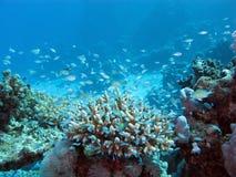 Koraalrif op de zeebedding bij grote diepte op een achtergrond van blauw water Stock Afbeelding