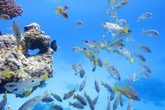Koraalrif in tropische overzees met ondiepte van goatfish, onderwater Stock Afbeelding