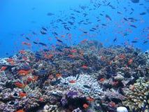 Koraalrif tropische vissen Royalty-vrije Stock Fotografie