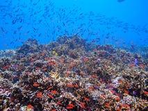 Koraalrif tropische vissen Stock Afbeelding
