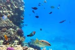 Koraalrif van Rode Overzees met tropische vissen Stock Afbeelding