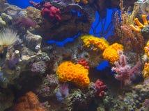 Koraalriffen Stock Foto