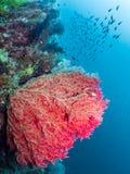Koraalriffen, Grote rode overzeese ventilator, Raja Ampat, Indonesië royalty-vrije stock fotografie