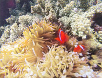 Koraalvissen in bleke actinia digitale illustratie Sinaasappel clownfish in gele actinia royalty-vrije illustratie