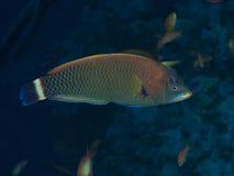 Koraalvissen Chiseltooth wrasse royalty-vrije stock foto's