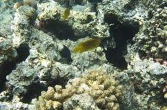 Koraalvissen op de achtergrond van een koraal royalty-vrije stock fotografie