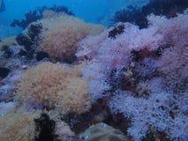 Koral Obraz Royalty Free