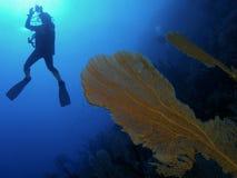 koral ciężki Zdjęcia Stock