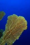 koral ciężki Obrazy Stock