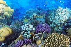 Koral i ryba w Czerwonym Morzu zdjęcie royalty free