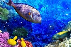 Koral i ryba w Czerwonym morzu. obraz stock