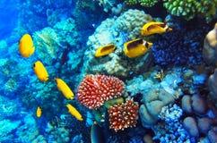 Koral i ryba w Czerwonym morzu. Egipt, Afryka. Zdjęcie Stock