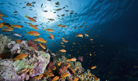 koral ryba zdjęcia royalty free