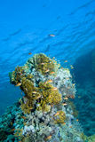 koral ryba Fotografia Royalty Free