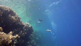 Koral ryba w płytkiej wodzie z nurka ` s gulgocze w Czerwonym morzu zbiory wideo