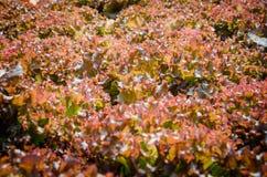 Koral sałata Zdjęcia Stock
