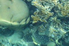 Koral um bonito sempre Imagens de Stock Royalty Free
