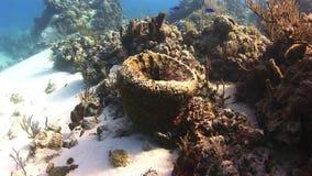 Koral w postaci pucharu zdjęcie wideo