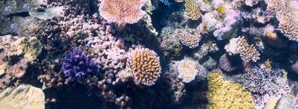 Koral w Wielkiej bariery rafie w Australia obraz royalty free