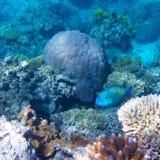 Koral w Wielkiej bariery rafie w Australia zdjęcie royalty free