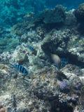Koral w Wielkiej bariery rafie w Australia fotografia stock