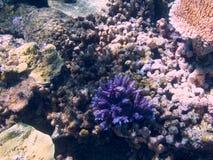 Koral w Wielkiej bariery rafie w Australia obrazy stock