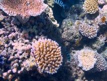 Koral w Wielkiej bariery rafie w Australia zdjęcie stock