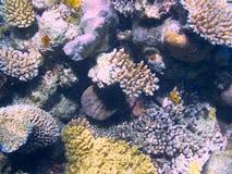 Koral w Wielkiej bariery rafie w Australia obrazy royalty free