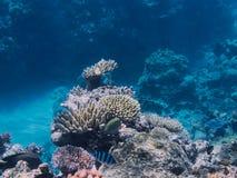 Koral w Wielkiej bariery rafie w Australia fotografia royalty free