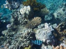 Koral w Wielkiej bariery rafie w Australia zdjęcia royalty free