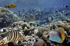 korala morze rybi czerwony Obraz Royalty Free