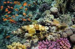 korala morze rybi czerwony Zdjęcie Stock