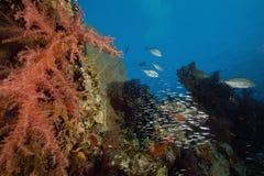 korala oceanu rybia miękka część Zdjęcia Royalty Free