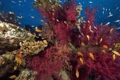 korala oceanu rybia miękka część Fotografia Stock