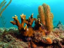 korala ogień Zdjęcie Royalty Free