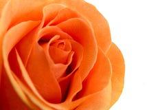 Korala różany zbliżenie na białym tle Zdjęcia Stock